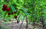 آمار محصولات باغی در سال ١٣٩٨